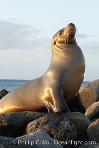 Galapagos sea lion on volcanic rocks, sunset, Zalophus californianus wollebacki, Zalophus californianus wollebaeki, Isla Lobos