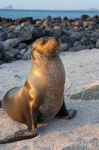 Galapagos sea lion on sandy, sunset, Zalophus californianus wollebacki, Zalophus californianus wollebaeki, Isla Lobos
