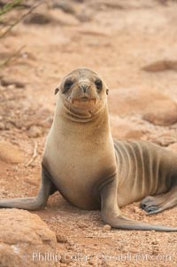 Galapagos sea lion pup. North Seymour Island, Galapagos Islands, Ecuador, Zalophus californianus wollebacki, Zalophus californianus wollebaeki, natural history stock photograph, photo id 16514