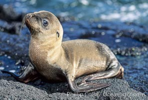 Galapagos sea lion pup, Punta Espinosa, Zalophus californianus wollebacki, Zalophus californianus wollebaeki, Fernandina Island, copyright Phillip Colla Natural History Photography, www.oceanlight.com, image #01611, all rights reserved worldwide.