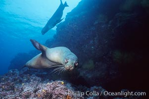 Galapagos sea lion, Zalophus californianus wollebacki, Zalophus californianus wollebaeki, Isla Champion