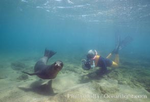 Galapagos sea lion, Sullivan Bay, Zalophus californianus wollebacki, Zalophus californianus wollebaeki, James Island, copyright Phillip Colla Natural History Photography, www.oceanlight.com, image #01700, all rights reserved worldwide.