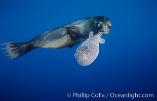 Galapagos sea lion playing with puffer fish, Zalophus californianus wollebacki, Zalophus californianus wollebaeki, Cousins, copyright Phillip Colla Natural History Photography, www.oceanlight.com, image #02252, all rights reserved worldwide.