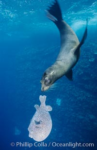 Galapagos sea lion playing with puffer fish, Zalophus californianus wollebacki, Zalophus californianus wollebaeki, Cousins, copyright Phillip Colla Natural History Photography, www.oceanlight.com, image #02254, all rights reserved worldwide.