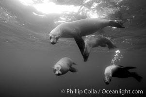 Galapagos sea lions, Zalophus californianus wollebacki, Zalophus californianus wollebaeki, Roca Redonda