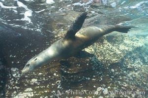 Galapagos sea lion, Zalophus californianus wollebacki, Zalophus californianus wollebaeki, Gordon Rocks