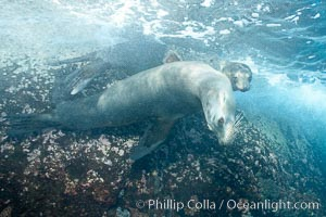 Galapagos sea lions, Zalophus californianus wollebacki, Zalophus californianus wollebaeki, Gordon Rocks