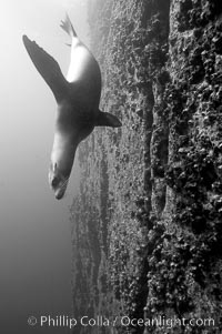 Galapagos sea lion swims alongside a vertical volcanic wall, Zalophus californianus wollebacki, Zalophus californianus wollebaeki, Gordon Rocks