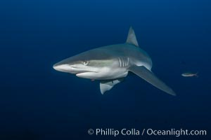 Galapagos shark, Carcharhinus galapagensis, Wolf Island