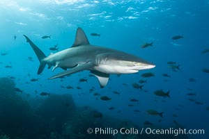 Galapagos shark swims over a reef in the Galapagos Islands, with schooling fish in the distance. Wolf Island, Galapagos Islands, Ecuador, Carcharhinus galapagensis, natural history stock photograph, photo id 16240