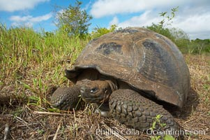 Galapagos tortoise, Santa Cruz Island species, highlands of Santa Cruz island. Santa Cruz Island, Galapagos Islands, Ecuador, Geochelone nigra, natural history stock photograph, photo id 16482