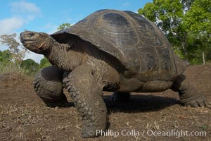 Galapagos tortoise, Santa Cruz Island species, highlands of Santa Cruz island. Santa Cruz Island, Galapagos Islands, Ecuador, Geochelone nigra, natural history stock photograph, photo id 16491
