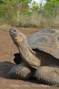 Galapagos tortoise, Santa Cruz Island species, highlands of Santa Cruz island., Geochelone nigra,  Copyright Phillip Colla, image #16480, all rights reserved worldwide.