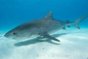 Tiger shark and live sharksucker (remora). Bahamas, Galeocerdo cuvier, Echeneis naucrates, natural history stock photograph, photo id 10670