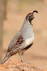 Gambel's quail, male. Amado, Arizona, USA, Callipepla gambelii, natural history stock photograph, photo id 22893