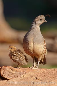 Gambel&#39;s quail, chicks and female, Callipepla gambelii, Amado, Arizona