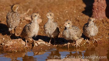Gambel&#39;s quail, chicks, Callipepla gambelii, Amado, Arizona