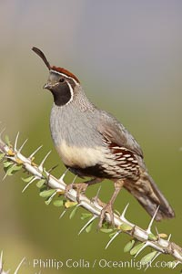 Gambel&#39;s quail, male, Callipepla gambelii, Amado, Arizona