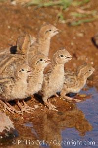 Gambel's quail, chicks. Amado, Arizona, USA, Callipepla gambelii, natural history stock photograph, photo id 22938