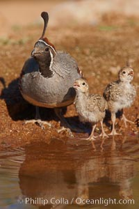 Gambel's quail, chicks and female, Callipepla gambelii, Amado, Arizona