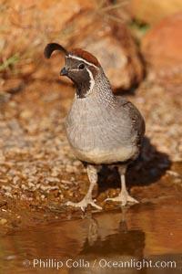 Gambel's quail, male. Amado, Arizona, USA, Callipepla gambelii, natural history stock photograph, photo id 22976