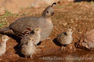 Gambel's quail, chicks and female, Callipepla gambelii, Amado, Arizona