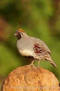 Gambel's quail, male. Amado, Arizona, USA, Callipepla gambelii, natural history stock photograph, photo id 23037