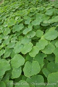 Garden nasturtium, San Elijo Lagoon, Tropaeolum majus, Encinitas, California
