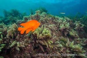 Garibaldi and Asparagopsis taxiformis (red marine algae), San Clemente Island. San Clemente Island, California, USA, Hypsypops rubicundus, Asparagopsis taxiformis, natural history stock photograph, photo id 30880