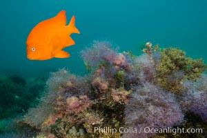 Garibaldi and purple Chondria acrorhizophora marine algae, Chondria acrorhizophora, Hypsypops rubicundus, Catalina Island