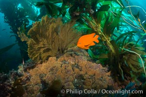 Garibaldi and golden gorgonian, with a underwater forest of giant kelp rising in the background, underwater. Catalina Island, California, USA, natural history stock photograph, photo id 34184