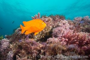 Garibaldi and various marine algae, San Clemente Island, Hypsypops rubicundus