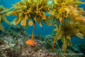 Garibaldi swimming through southern sea palm, San Clemente Island, Hypsypops rubicundus, Eisenia arborea