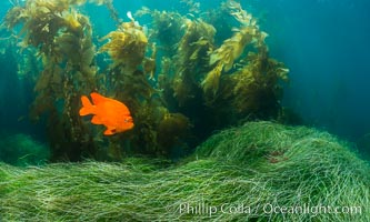 Garibaldi in eel grass, Catalina. Catalina Island, California, USA, natural history stock photograph, photo id 34172