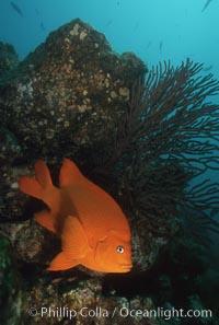 Garibaldi and gorgonian, Hypsypops rubicundus, Catalina Island