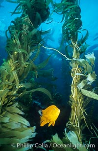 Garibaldi in kelp forest. San Clemente Island, California, USA, Hypsypops rubicundus, Macrocystis pyrifera, natural history stock photograph, photo id 01055