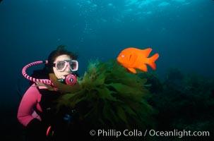 Diver and garibaldi, Catalina, Hypsypops rubicundus, Catalina Island