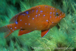 Juvenile garibaldi in motion. Catalina Island, California, USA, Hypsypops rubicundus, natural history stock photograph, photo id 02343