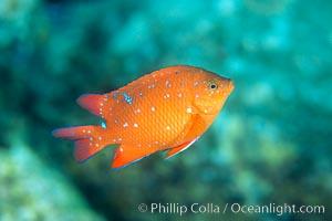 Juvenile Garibaldi, vibrant spots distinguish it from pure orange adult form, Hypsypops rubicundus, San Clemente Island