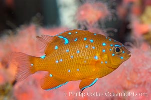Juvenile garibaldi displaying distinctive blue spots. California, USA, Hypsypops rubicundus, natural history stock photograph, photo id 09393