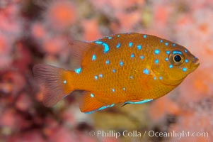 Juvenile garibaldi displaying distinctive blue spots. California, USA, Hypsypops rubicundus, natural history stock photograph, photo id 09394