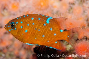 Juvenile garibaldi displaying distinctive blue spots. California, USA, Hypsypops rubicundus, natural history stock photograph, photo id 09395