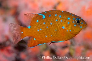 Juvenile garibaldi displaying distinctive blue spots. California, USA, Hypsypops rubicundus, natural history stock photograph, photo id 09397