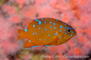 Juvenile garibaldi displaying distinctive blue spots, Hypsypops rubicundus
