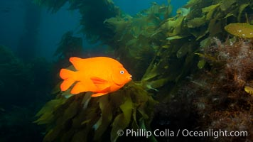 Garibaldi fish on kelp forest reef, underwater, Hypsypops rubicundus, San Clemente Island