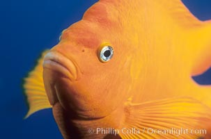 The bright orange garibaldi fish, California's state marine fish, is also clownlike in appearance, Hypsypops rubicundus, copyright Phillip Colla Natural History Photography, www.oceanlight.com, image #02416, all rights reserved worldwide.