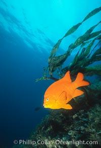 Garibaldi, Hypsypops rubicundus, Catalina Island