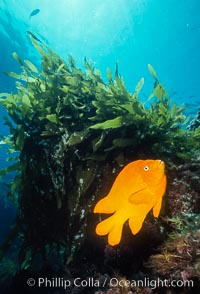 Garibaldi. Catalina Island, California, USA, Hypsypops rubicundus, natural history stock photograph, photo id 02507
