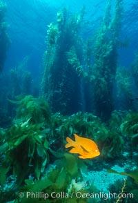 Garibaldi and kelp forest, Hypsypops rubicundus, Macrocystis pyrifera, San Clemente Island