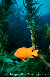 Garibaldi and kelp forest. San Clemente Island, California, USA, Hypsypops rubicundus, Macrocystis pyrifera, natural history stock photograph, photo id 02509